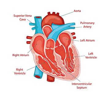 Heart diagram cardiac